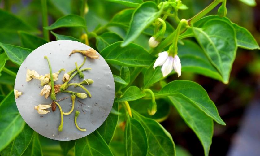Beberapa Faktor Penyebab Kerontokan Bunga dan Solusinya