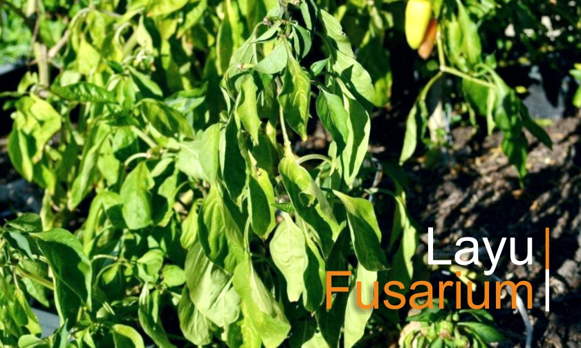 Layu pada Cabai, Tomat dan Terong - Bag. 2 (Fusarium)